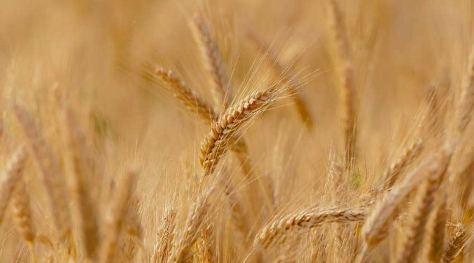 crops insurance wheat field